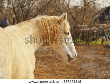 White horse standing in a paddock on a background of gray trees