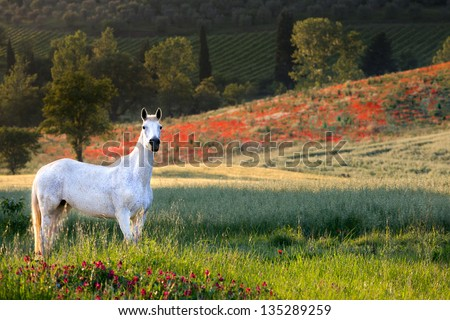 White horse standing in a poppy field in Tuscany in golden evening light - stock photo