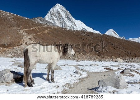 White horse standing on the trail to everest Base Camp with Pumori and Kala Patthar mountains in the background. Beautiful white horse in high Himalayan mountains. - stock photo