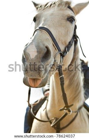 White horse sticking his tongue out at the camera - stock photo