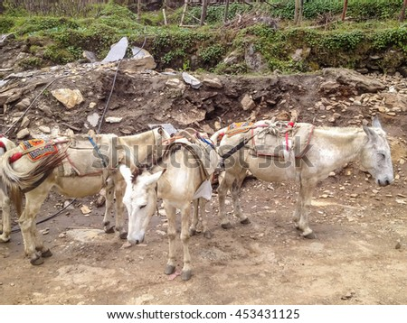 White horse used for carry luggage and tourist to Annapurna base camp, Nepal - stock photo