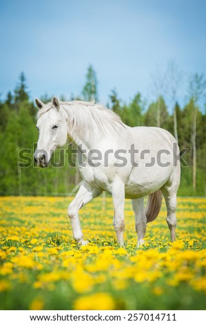 White horse walking on the pasture with a lot of dandelions