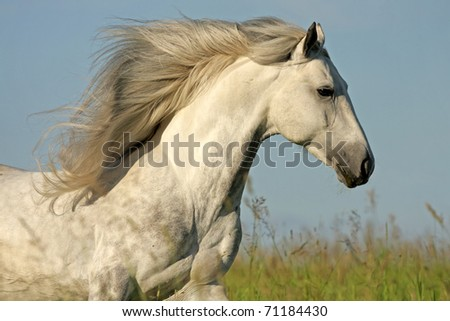 White horse with a long mane