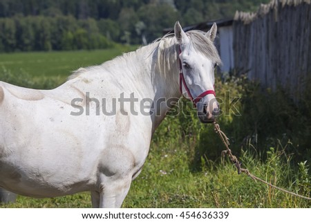 White horse with red bridle