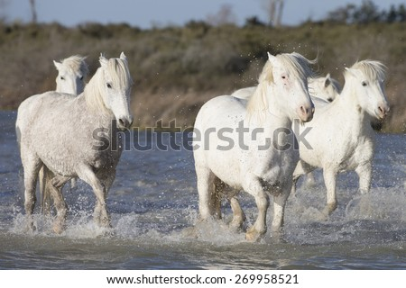 White horses of Camargue France running in water - stock photo