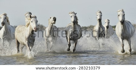 White horses of Camargue running through water. France - stock photo