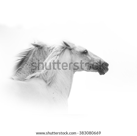 white horses running closeup over a white background - stock photo