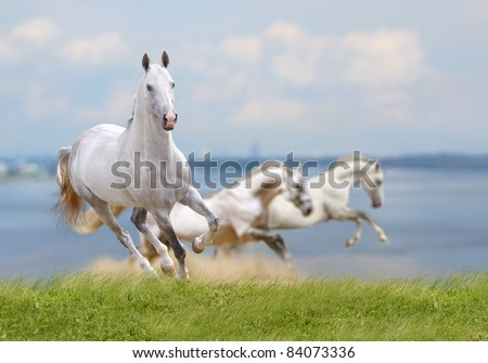 white horses running near water - stock photo