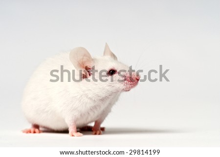 White house mouse isolated over white - stock photo