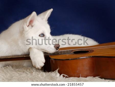 white husky and guitar - stock photo