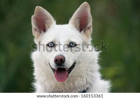 White husky dog with blue eyes - stock photo