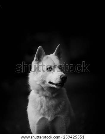 White husky on black