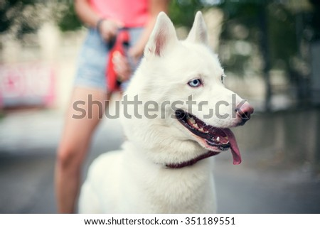 White Husky Puppy Eskimo Dog Staying Near Owner Outdoor. - stock photo