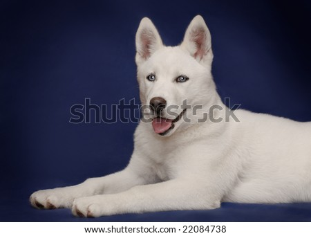 white husly puppy on blue - stock photo