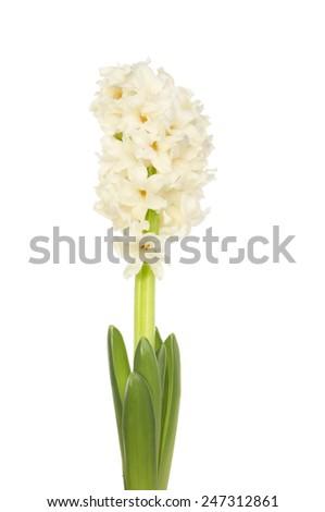 White hyacinth flower isolated against white - stock photo