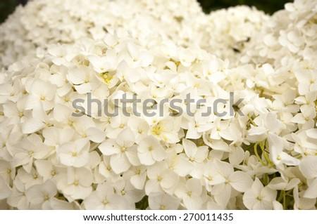white hydrangea as a background - stock photo
