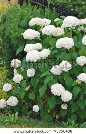 White hydrangea flowers - stock photo