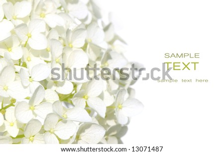 White hydrangea flowers against white background - stock photo