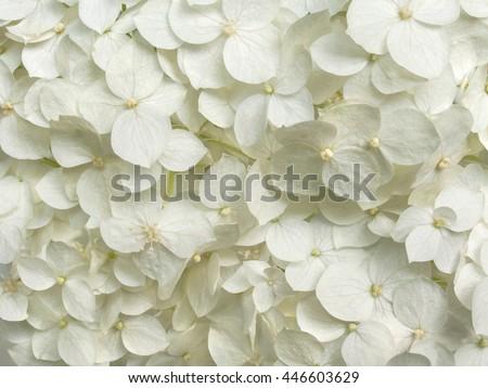 white hydrangea flowers tender romantic floral background - stock photo