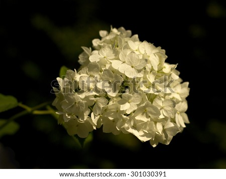 White hydrangea (Hydrangea arborescens) in the park - stock photo