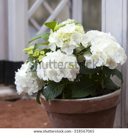 white hydrangea in the pot at the white fence - stock photo