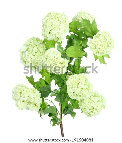 White Hydrangea isolated on white - stock photo