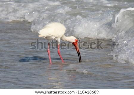White Ibis (Eudocimus albus) Feeding in the Surf on Sanibel Island in Florida - stock photo