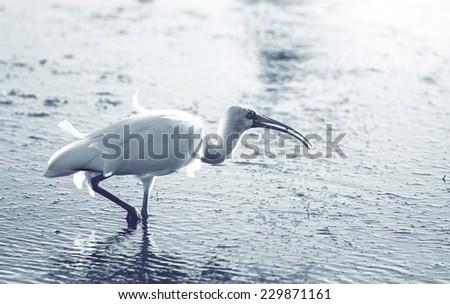 White Ibis  in a Shallow Pond - Florida - stock photo
