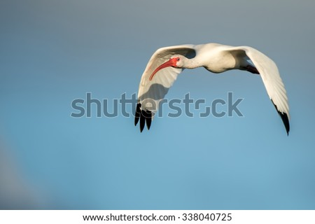 white ibis in flight against partly cloudy blue sky and looking into camera - stock photo