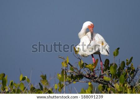 White Ibis preens in a mangrove in Florida - stock photo
