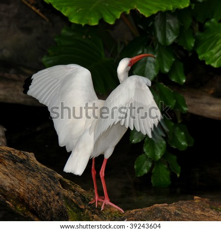 White Ibis Stretching his Wings