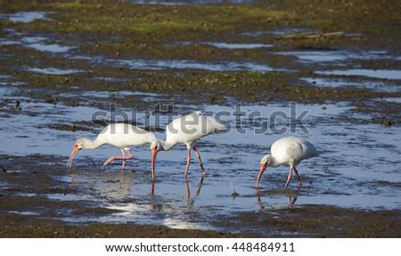 White ibises in lagoon, Baja, California - stock photo