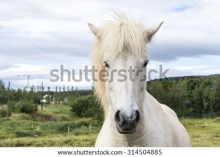 White icelandic horse on a green meadow. Iceland.