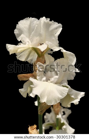 White iris flowers on a sunny day isolated on a black background