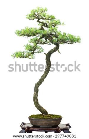 White isolated conifer scotch pine as bonsai tree - stock photo