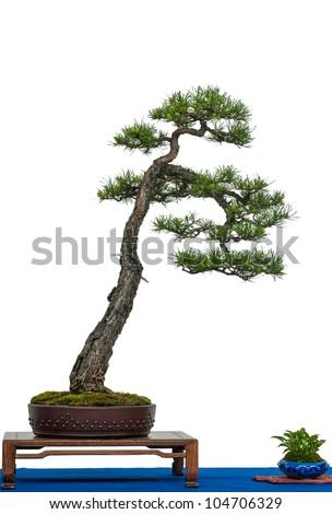 White isolated scotch pine as bonsai tree - stock photo