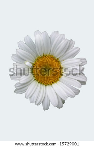 White isolated shasta daisy with clipping path