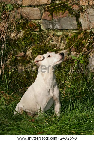 White Jack Russell terrier dog sitting on the grass. - stock photo
