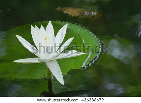 white jagged edge Lotus and green leaf in the water pool. Reflections from water. - stock photo