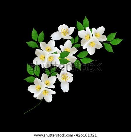 Jasmine Flower Isolated Stock Images RoyaltyFree Images