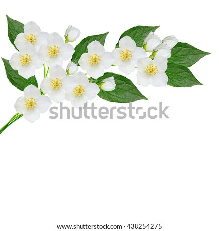 White jasmine flower.  branch of jasmine flowers isolated on white background. spring flowers - stock photo
