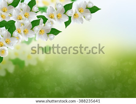 White jasmine flower. The branch delicate spring flowers - stock photo
