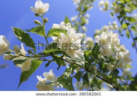 White jasmine flowers/Spring landscape with delicate jasmine flowers/Jasmine blossom - stock photo
