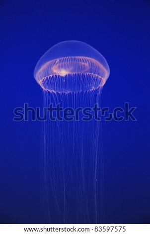 White jellyfish free-floating scyphozoa in the dark blue  Pacific Ocean - stock photo
