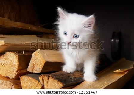 White kitten - stock photo