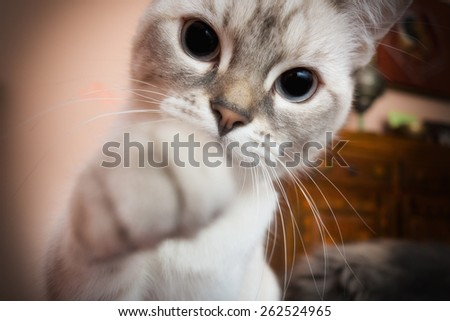 white kitten with paw outstretched Camera - stock photo