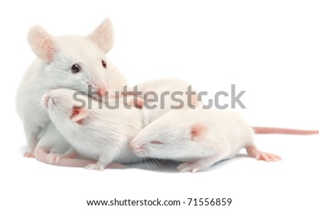 White laboratory mice: mother with pups, which are 9 days old; isolated on white - stock photo