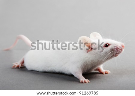 white laboratory mouse isolated on grey background - stock photo