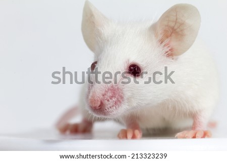 White laboratory mouse (strain BALB/C) in front of white background, shallow depth of field, looking into camera - stock photo
