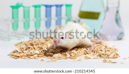 White laboratory mouse, with glasware and animal bedding, shallow depth of field - stock photo